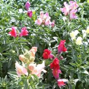 Antirrhinum Magic Carpet Mix